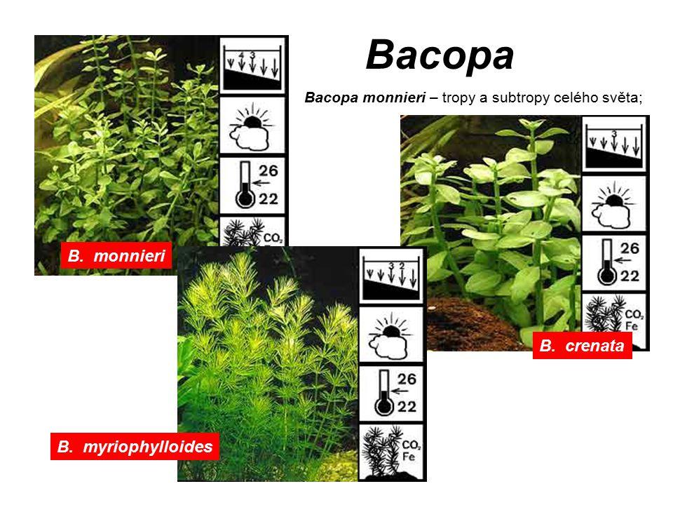 Bacopa B. crenata B. monnieri B. myriophylloides Bacopa monnieri – tropy a subtropy celého světa;