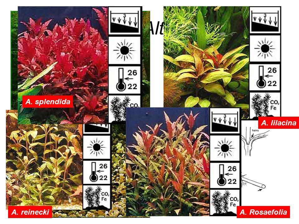 Alternathera A. reinecki A. splendida A. lilacina A. Rosaefolia