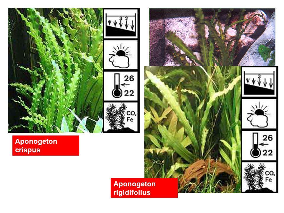 Aponogeton crispus Aponogeton rigidifolius