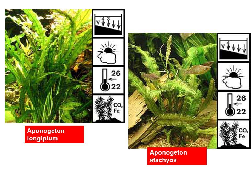 Aponogeton longiplum Aponogeton stachyos