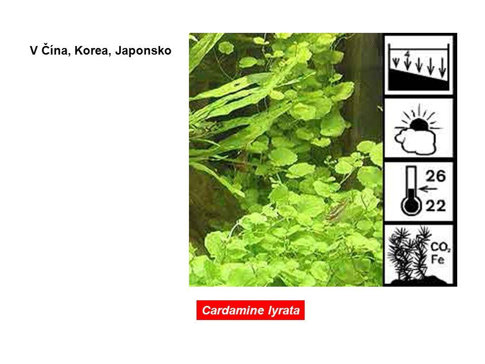 Cardamine lyrata V Čína, Korea, Japonsko