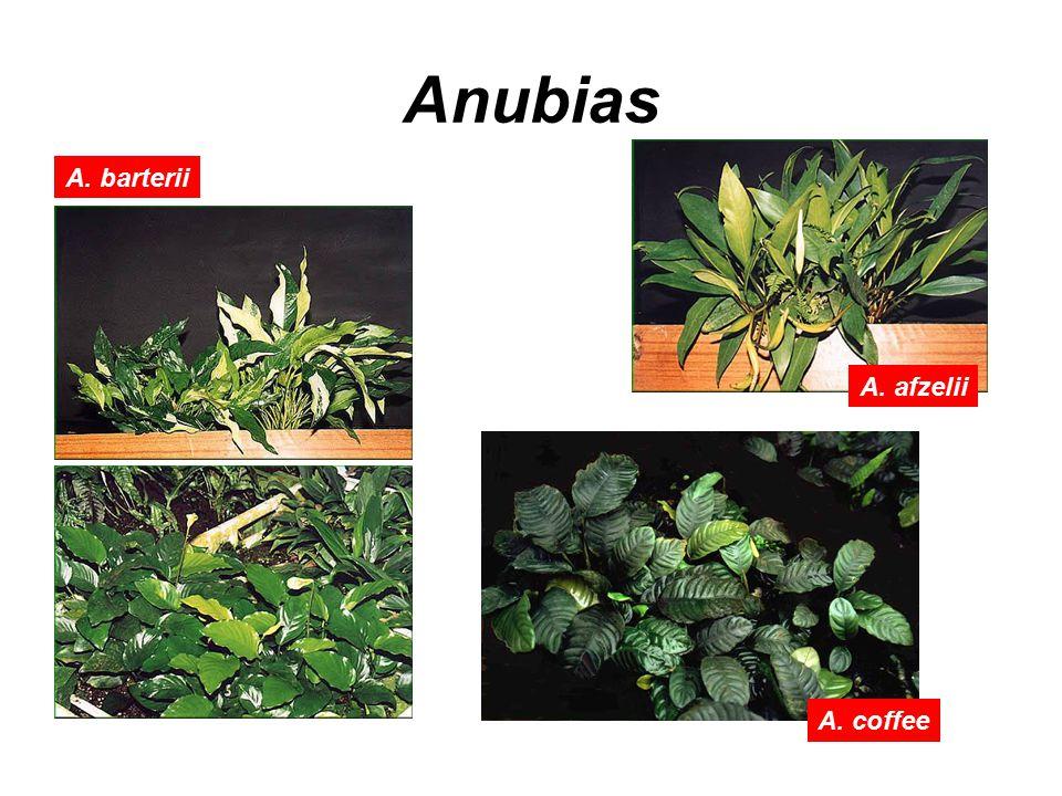 Anubias A. afzelii A. barterii A. coffee