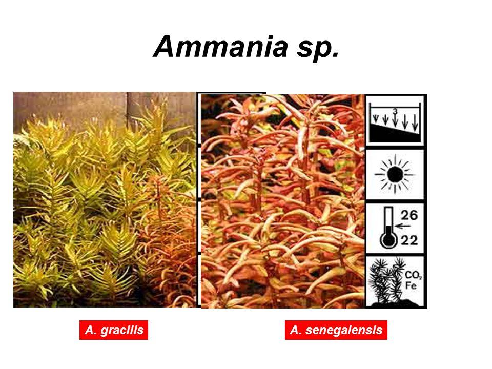 Ammania sp. A. gracilisA. senegalensis