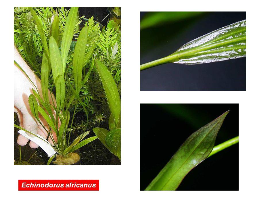 Echinodorus africanus
