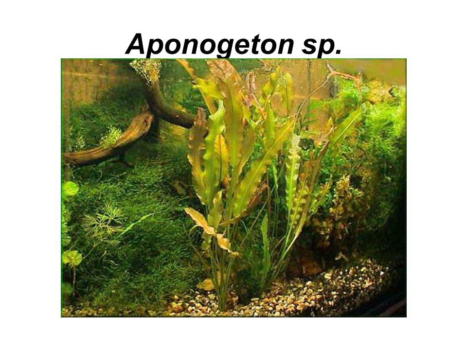 Aponogeton sp.
