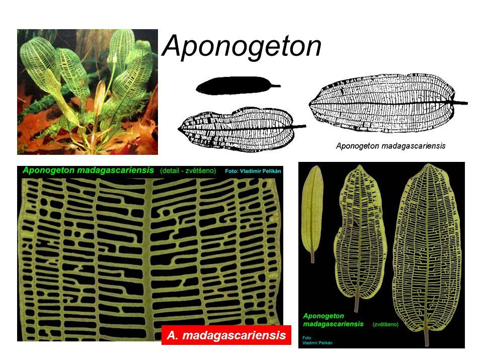Aponogeton A. madagascariensis