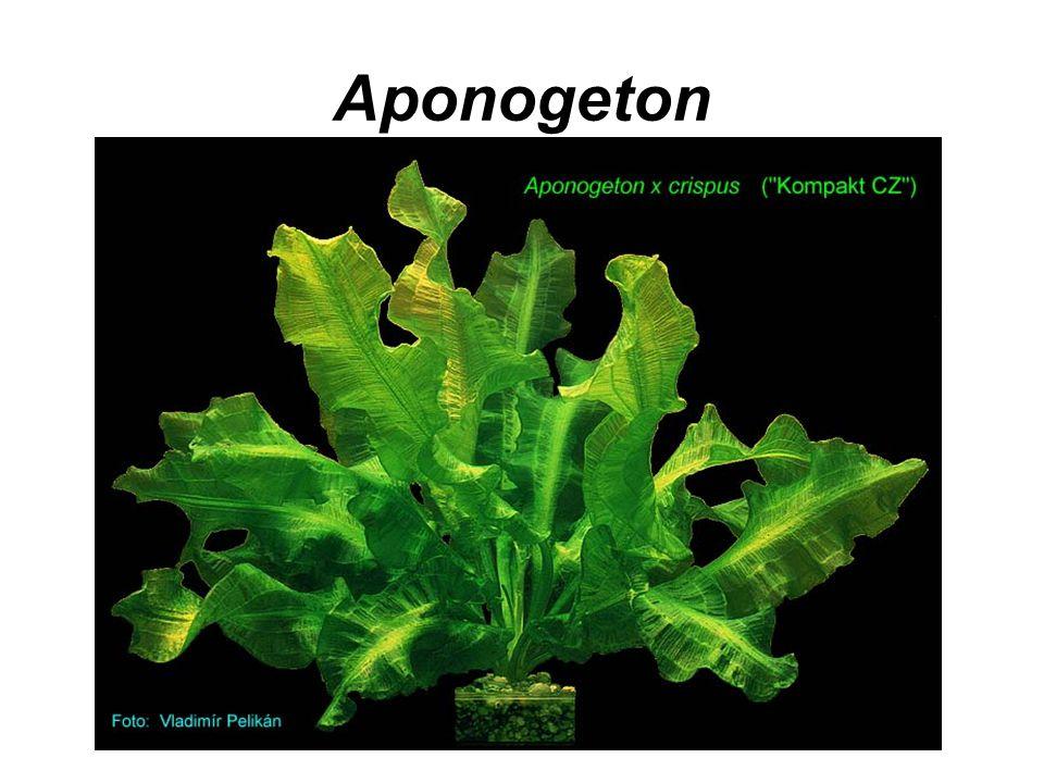 Aponogeton