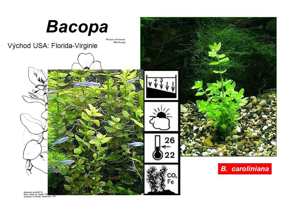 B. caroliniana Bacopa Východ USA: Florida-Virginie