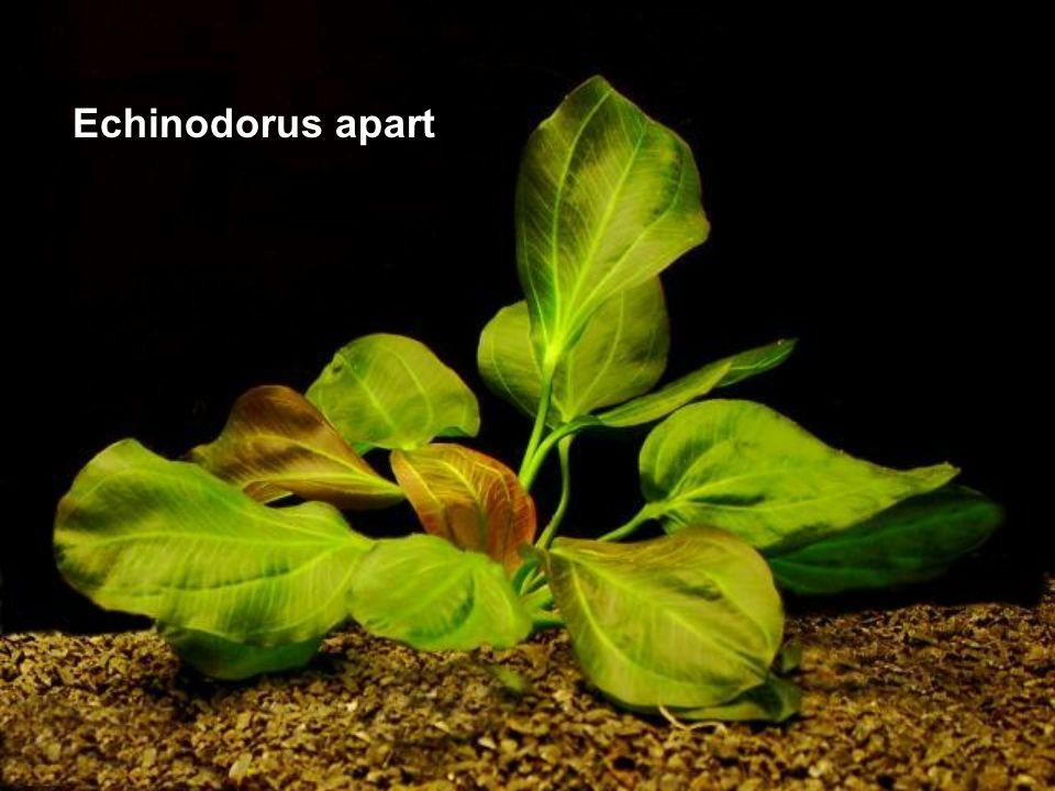 Echinodorus apart