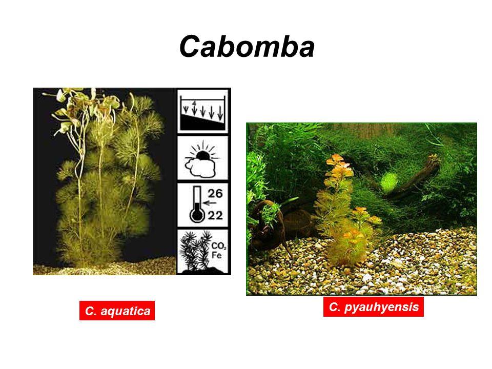 Cabomba C. aquatica C. pyauhyensis