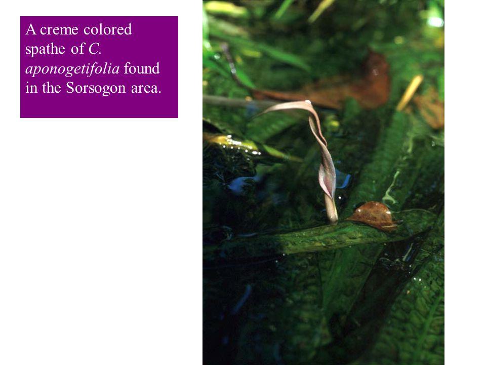 A creme colored spathe of C. aponogetifolia found in the Sorsogon area.