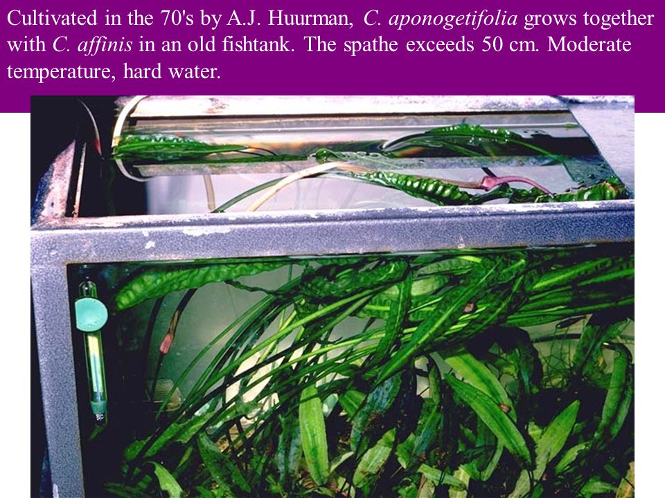 Cultivated in the 70 s by A.J.Huurman, C. aponogetifolia grows together with C.