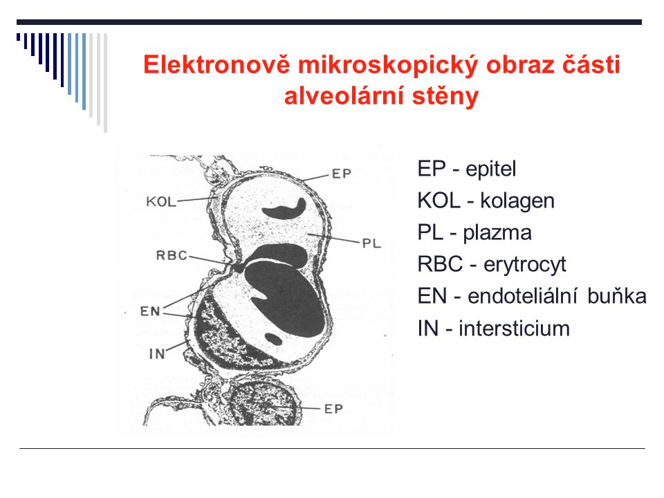Elektronově mikroskopický obraz části alveolární stěny EP - epitel KOL - kolagen PL - plazma RBC - erytrocyt EN - endoteliální buňka IN - intersticium