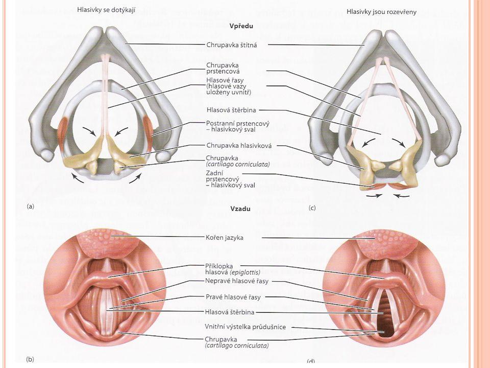 DOLNÍ CESTY DÝCHACÍ Vznik zvuku činnost hrtanového svalstva mění postavení chrupavek hrtanu => hlasová štěrbina se rozšiřuje nebo zužuje => hlasivky se napínají nebo uvolňují krátce před mluvením se hlasivky napnou => štěrbina hlasová se uzavře (při klidném dýchání jí prochází vzduch) proud vydechovaného vzduchu rozechvívá pravé hlasové vazy artikulovaná řeč se tvoří až v rezonančních dutinách pomocí jazyka, patra, rtů, zubů