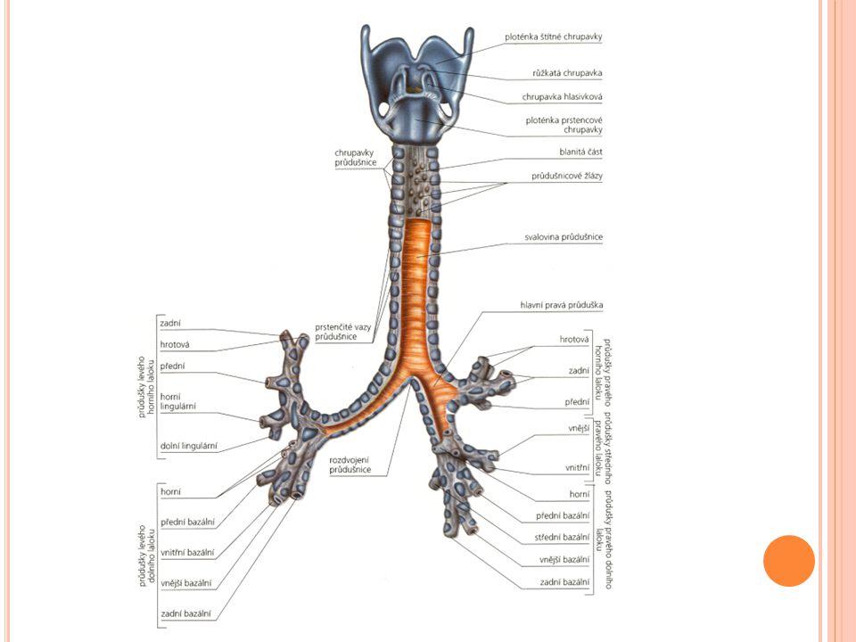 DOLNÍ CESTY DÝCHACÍ Průdušky (bronchi) 2 (pravá a levá) v plicích na průdušinky