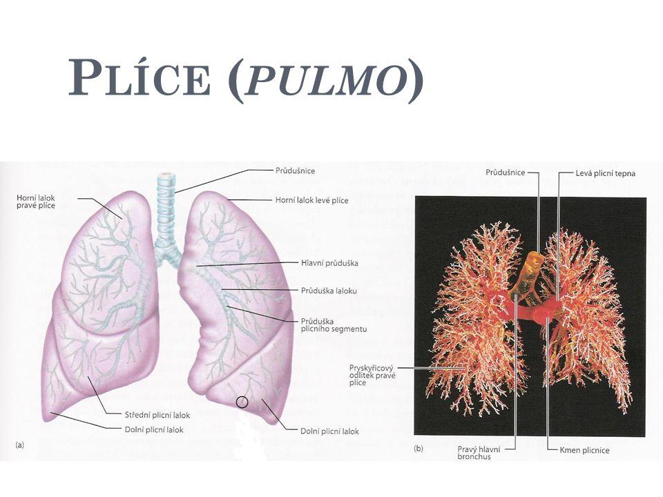 P LÍCE ( PULMO ) vazivová mezihrudní přepážka levá plíce - dvojlaločnatá (horní + dolní lalok) pravá plíce - trojlaločnatá (horní, dolní a střední lalok)