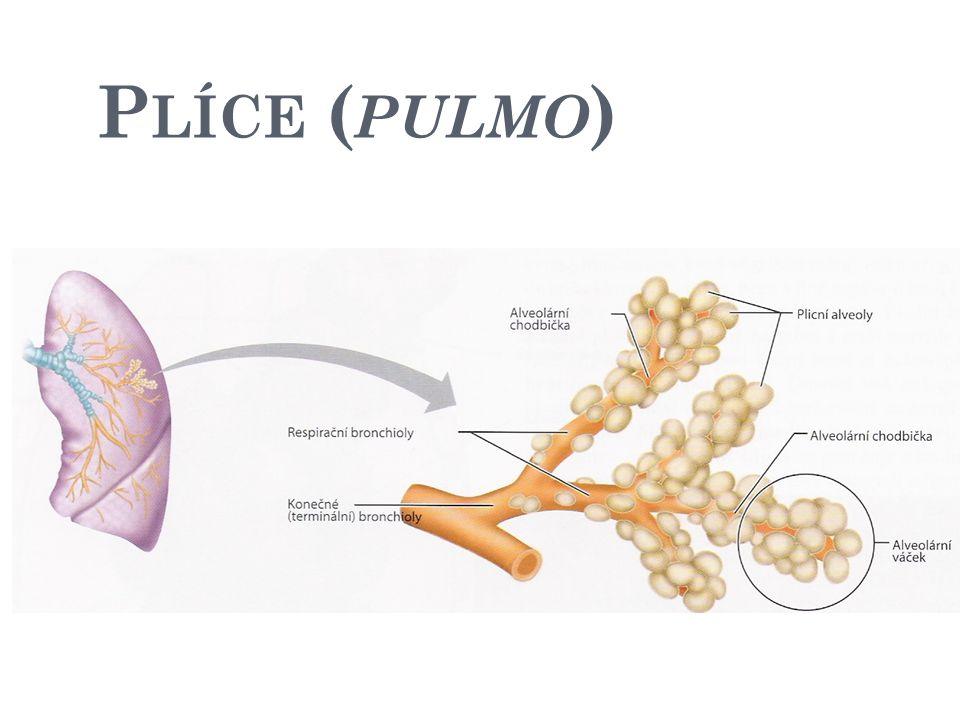 Průdušinky Plicní váčky Plicní sklípky (alveoly) alveol je aspoň 700 000 000 plocha plic 80-100 m 2