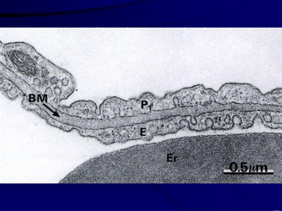 Bariéra krev-vzduch Alveolární buňky I. typu Bazální membrána Endotelové buňky kapilár Celkový respirační povrch plic = 140 m 2