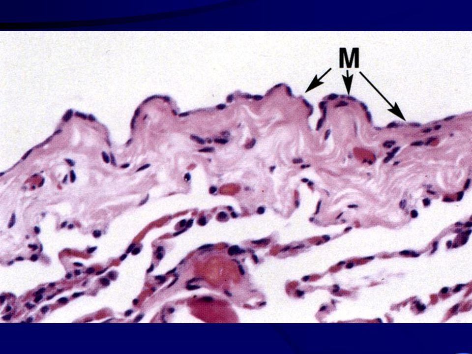 Pleura serózní membrána - mezotel parietální a viscerální list cupula pleurae recessus pleurales (costodiaphragmaticus, costo-, phrenico- a vertebrome