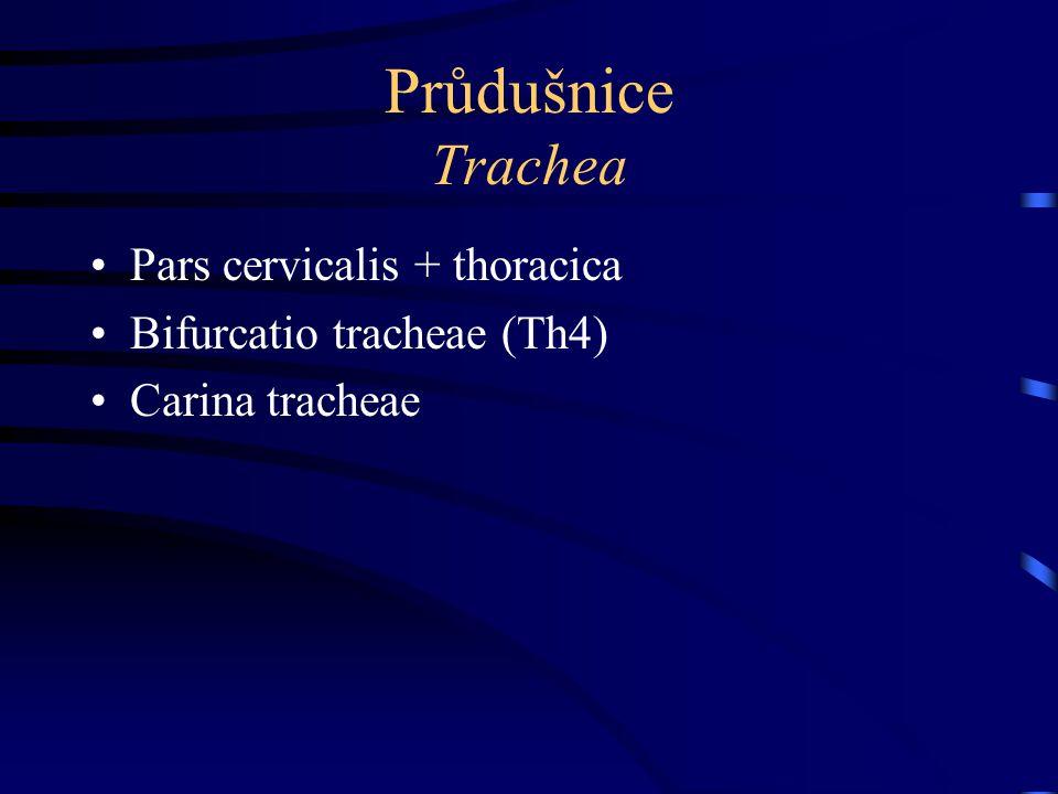 Průdušnice zásobení Tepny –a.thyroidea inf.  rr.