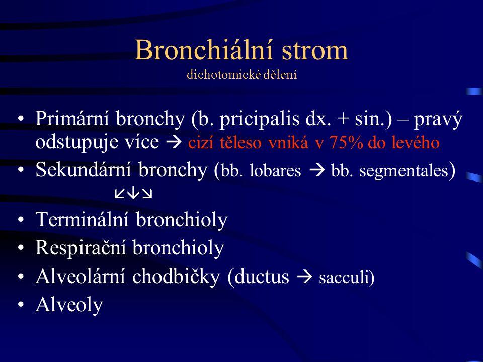 Bronchiální strom dichotomické dělení Primární bronchy (b.