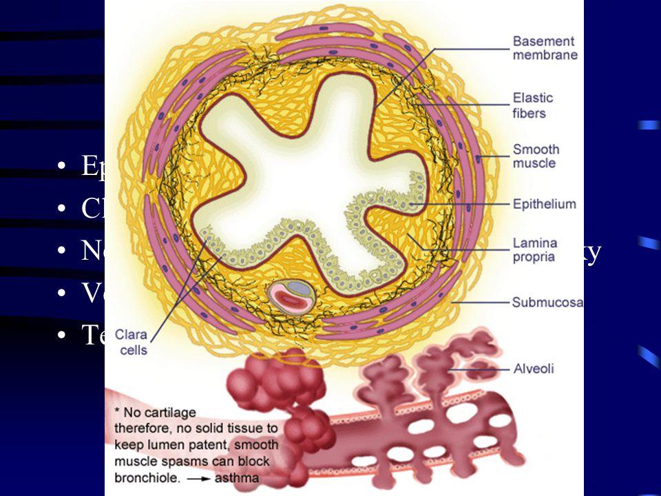 Bronchioly Epitel postupně kubický jednovrstevný Clarovy buňky Není chrupavka, žlázy ani lymfatické uzlíky Velké množství elastických vláken Termináln
