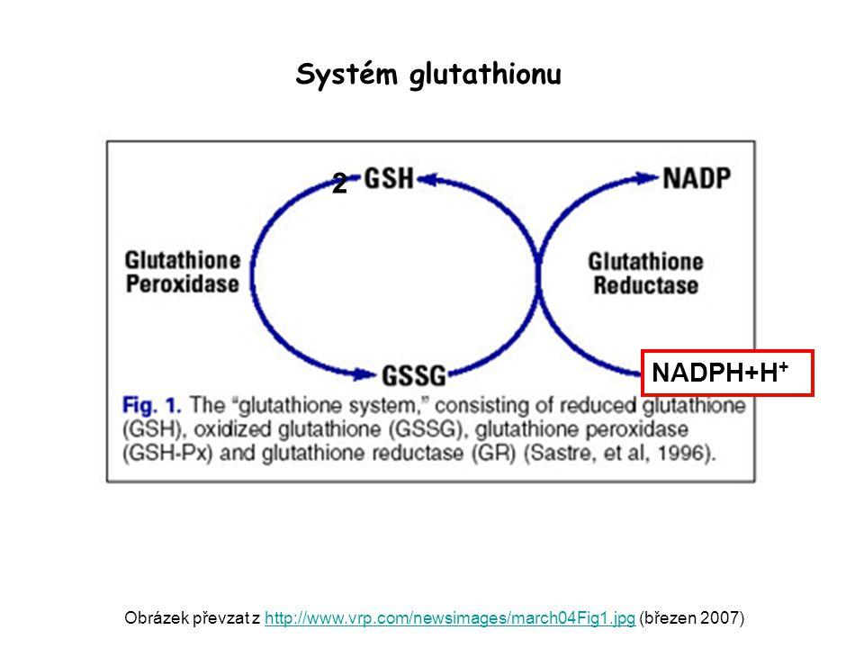 Obrázek převzat z http://www.vrp.com/newsimages/march04Fig1.jpg (březen 2007)http://www.vrp.com/newsimages/march04Fig1.jpg 2 Systém glutathionu NADPH+