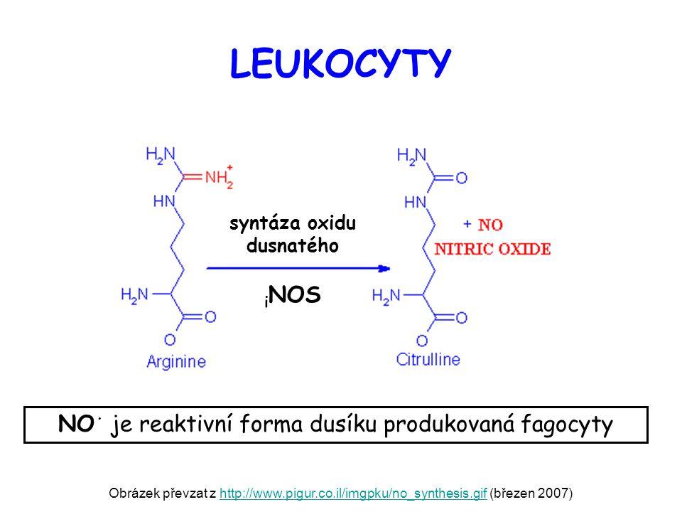 LEUKOCYTY Obrázek převzat z http://www.pigur.co.il/imgpku/no_synthesis.gif (březen 2007)http://www.pigur.co.il/imgpku/no_synthesis.gif NO · je reaktiv