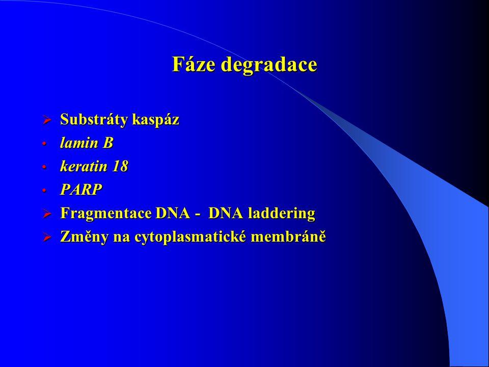 Fáze degradace  Substráty kaspáz lamin B lamin B keratin 18 keratin 18 PARP PARP  Fragmentace DNA - DNA laddering  Změny na cytoplasmatické membrán