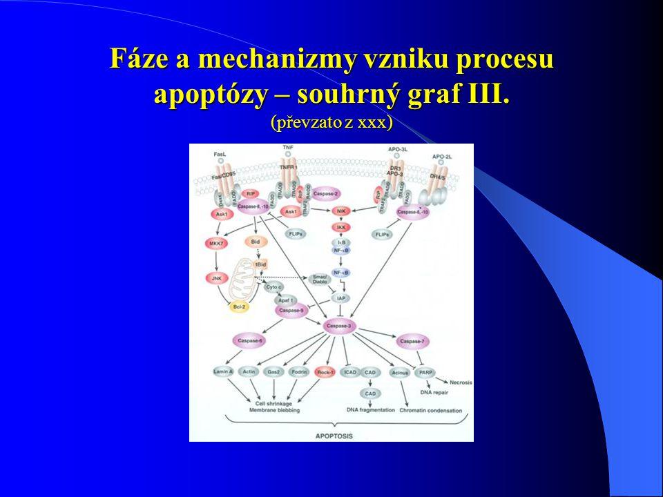 Fáze a mechanizmy vzniku procesu apoptózy – souhrný graf III. (převzato z xxx)