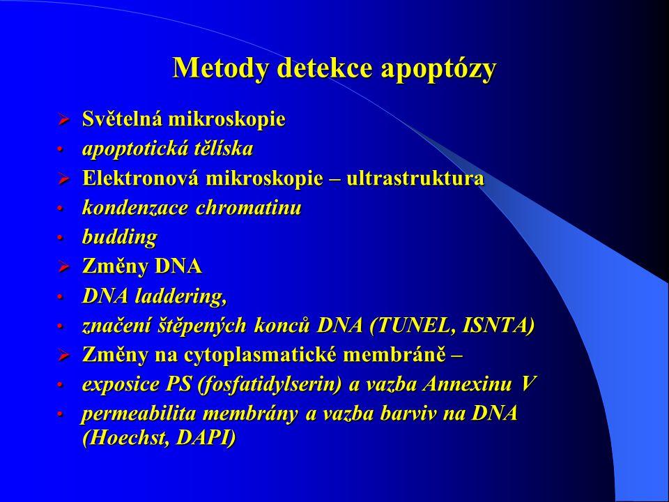 Metody detekce apoptózy  Světelná mikroskopie apoptotická tělíska apoptotická tělíska  Elektronová mikroskopie – ultrastruktura kondenzace chromatinu kondenzace chromatinu budding budding  Změny DNA DNA laddering, DNA laddering, značení štěpených konců DNA (TUNEL, ISNTA) značení štěpených konců DNA (TUNEL, ISNTA)  Změny na cytoplasmatické membráně – exposice PS (fosfatidylserin) a vazba Annexinu V exposice PS (fosfatidylserin) a vazba Annexinu V permeabilita membrány a vazba barviv na DNA (Hoechst, DAPI) permeabilita membrány a vazba barviv na DNA (Hoechst, DAPI)