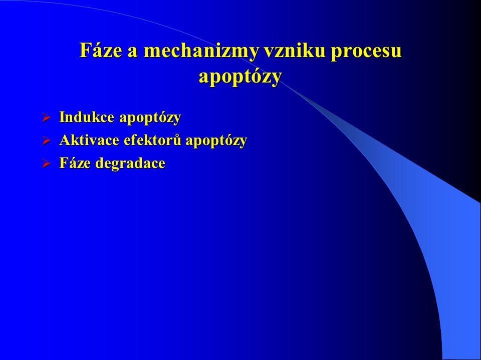 Fáze a mechanizmy vzniku procesu apoptózy  Indukce apoptózy  Aktivace efektorů apoptózy  Fáze degradace