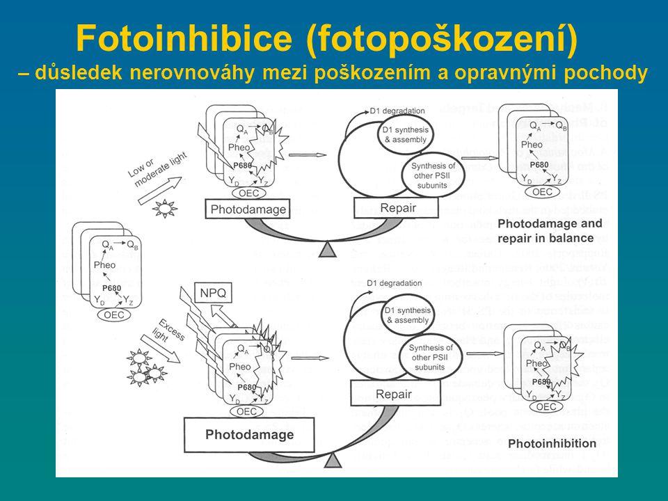 Fotoinhibice (fotopoškození) – důsledek nerovnováhy mezi poškozením a opravnými pochody