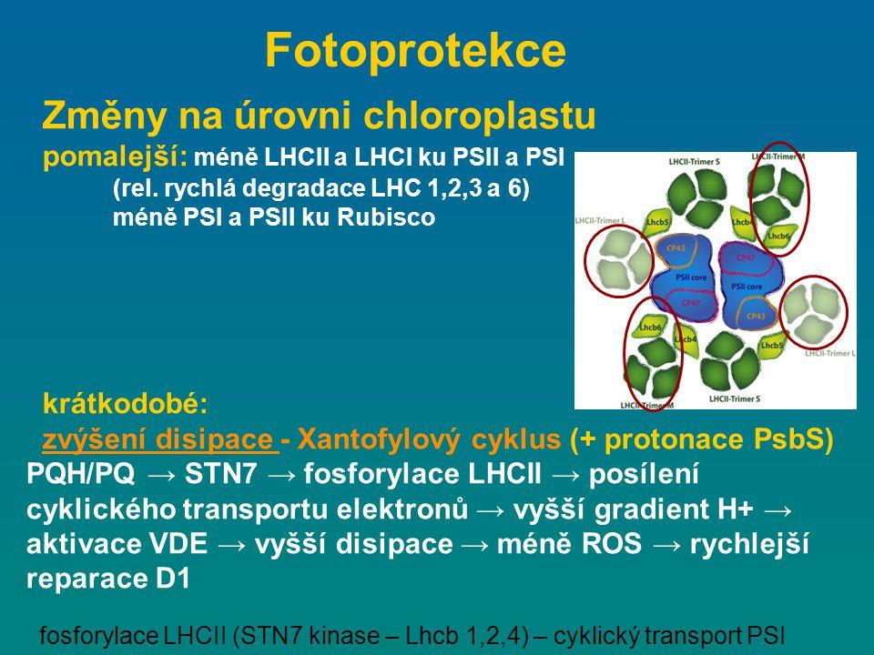 Změny na úrovni chloroplastu pomalejší: méně LHCII a LHCI ku PSII a PSI (rel. rychlá degradace LHC 1,2,3 a 6) méně PSI a PSII ku Rubisco krátkodobé: z