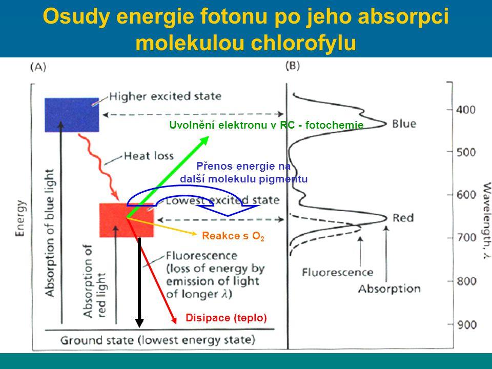 Osudy energie fotonu po jeho absorpci molekulou chlorofylu Uvolnění elektronu v RC - fotochemie Přenos energie na další molekulu pigmentu Disipace (te