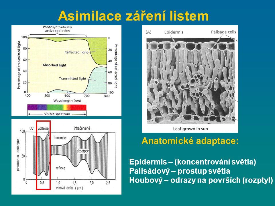 Asimilace záření listem Anatomické adaptace: Epidermis – (koncentrování světla) Palisádový – prostup světla Houbový – odrazy na površích (rozptyl)