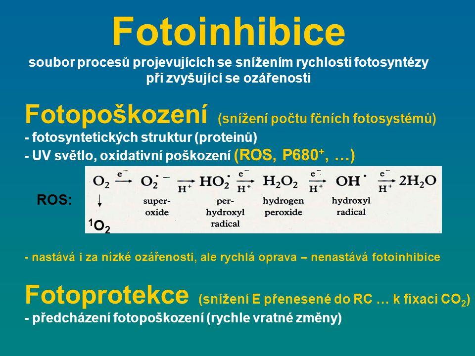 Fotoinhibice soubor procesů projevujících se snížením rychlosti fotosyntézy při zvyšující se ozářenosti ROS: 1O21O2 Fotopoškození (snížení počtu fčníc