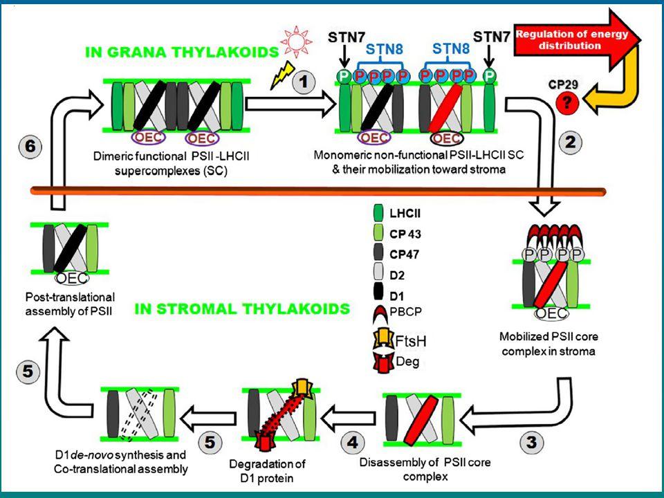 680 nm LHCII 685 nm CP43 695 nm CP47 720 nm PSI core 740 nm LHCI Fluorescence chlorofylu: