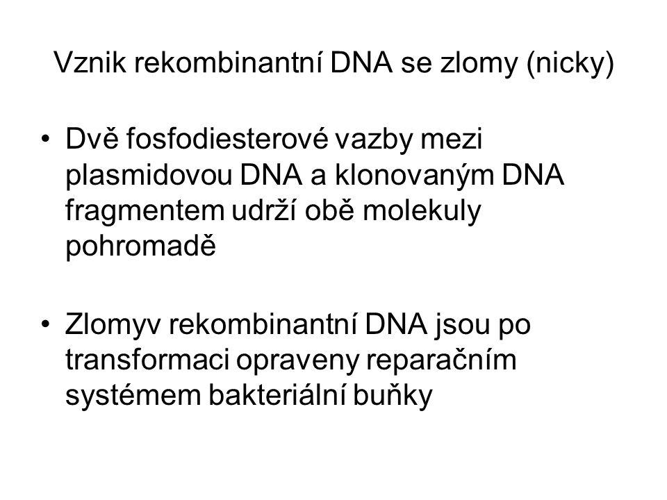 Vznik rekombinantní DNA se zlomy (nicky) Dvě fosfodiesterové vazby mezi plasmidovou DNA a klonovaným DNA fragmentem udrží obě molekuly pohromadě Zlomy