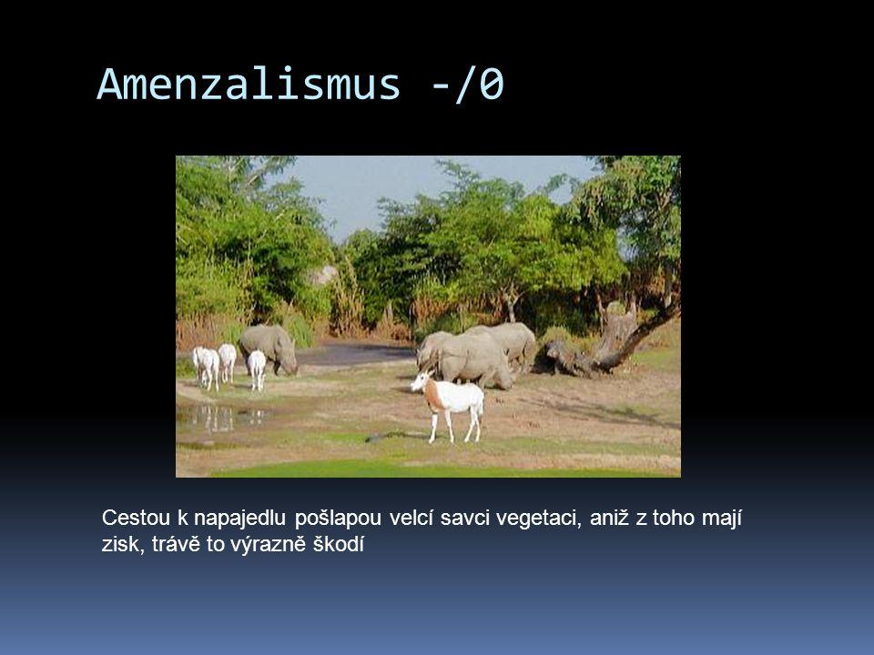 Amenzalismus -/0 Cestou k napajedlu pošlapou velcí savci vegetaci, aniž z toho mají zisk, trávě to výrazně škodí