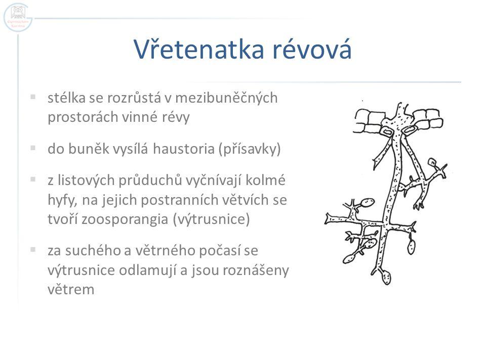Vřetenatka révová  stélka se rozrůstá v mezibuněčných prostorách vinné révy  do buněk vysílá haustoria (přísavky)  z listových průduchů vyčnívají kolmé hyfy, na jejich postranních větvích se tvoří zoosporangia (výtrusnice)  za suchého a větrného počasí se výtrusnice odlamují a jsou roznášeny větrem