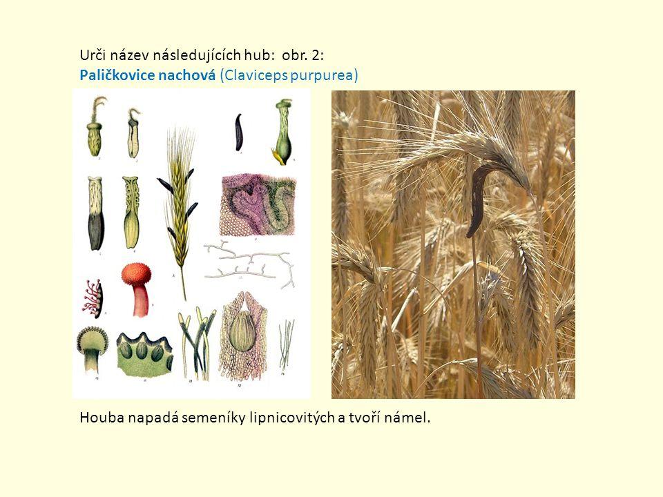 Urči název následujících hub: obr. 2: Paličkovice nachová (Claviceps purpurea) Houba napadá semeníky lipnicovitých a tvoří námel.