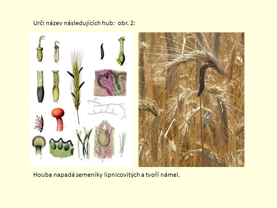 Urči název následujících hub: obr. 2: Houba napadá semeníky lipnicovitých a tvoří námel.