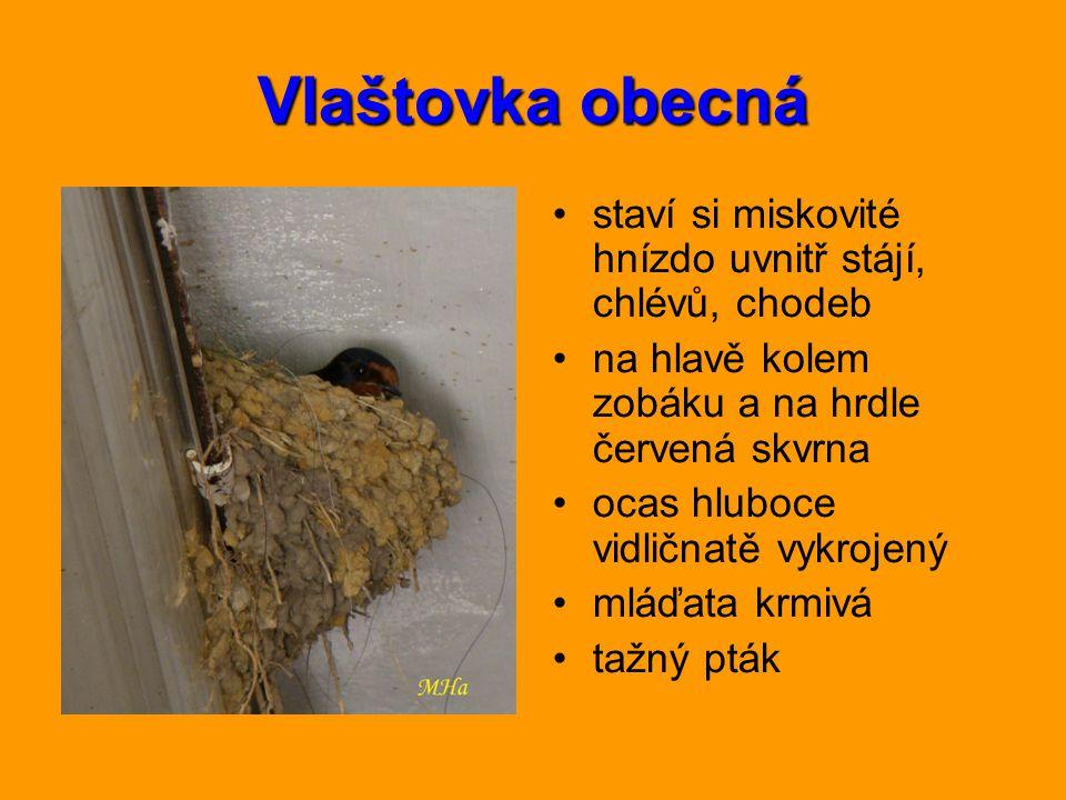 Vlaštovka obecná staví si miskovité hnízdo uvnitř stájí, chlévů, chodeb na hlavě kolem zobáku a na hrdle červená skvrna ocas hluboce vidličnatě vykroj