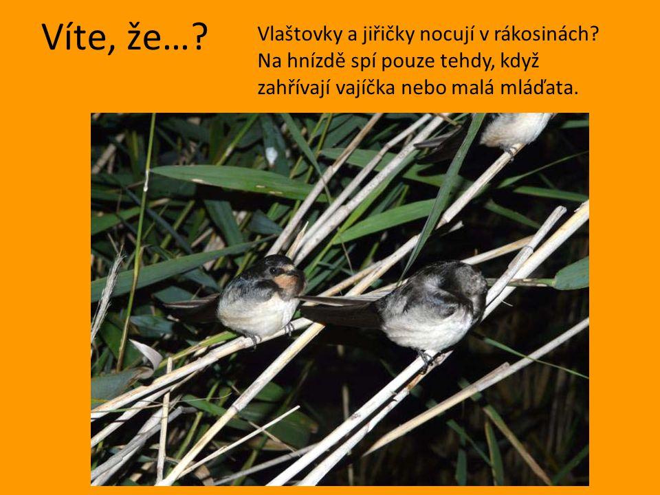 Víte, že…? Vlaštovky a jiřičky nocují v rákosinách? Na hnízdě spí pouze tehdy, když zahřívají vajíčka nebo malá mláďata.