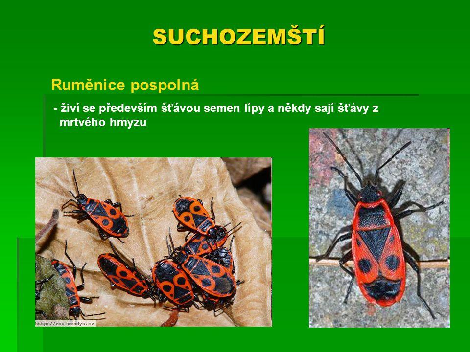 SUCHOZEMŠTÍ - živí se především šťávou semen lípy a někdy sají šťávy z mrtvého hmyzu Ruměnice pospolná