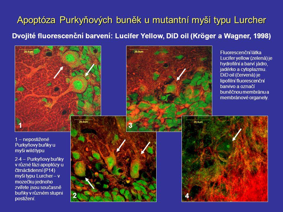 11 Apoptóza Purkyňových buněk u mutantní myši typu Lurcher Dvojité fluorescenční barvení: Lucifer Yellow, DiD oil (Kröger a Wagner, 1998) 13 2 4 1 – n
