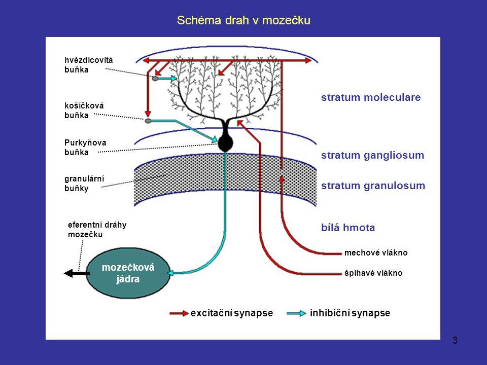 3 excitační synapse inhibiční synapse šplhavé vlákno mechové vlákno stratum moleculare stratum gangliosum stratum granulosum mozečková jádra bílá hmot