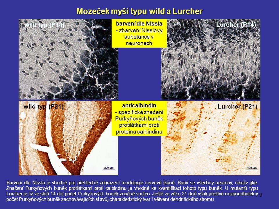 9 wild typ (P14) Lurcher (P14) barvení dle Nissla - zbarvení Nisslovy substance v neuronech Lurcher (P21) anticalbindin - specifické značení Purkyňový