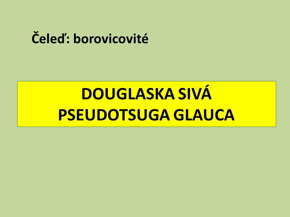 DOUGLASKA SIVÁ PSEUDOTSUGA GLAUCA Čeleď: borovicovité